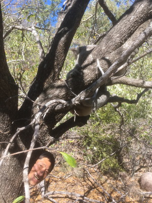 野生のコアラ