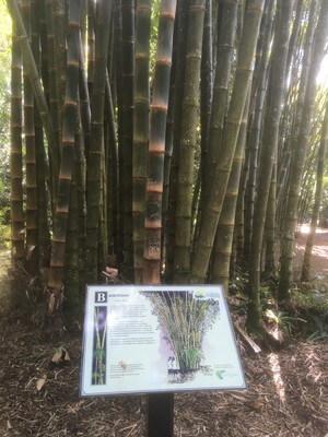 ケアンズボタニックガーデンの竹林