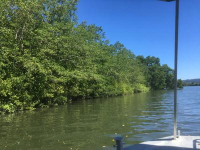 ディンツリー川のユーカリの木